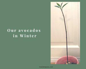 冬に芽を出したアボカドの成長が何だか変・・・【アボカド栽培】